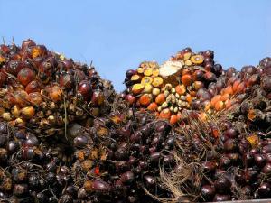 Le fléau de l'huile de palme