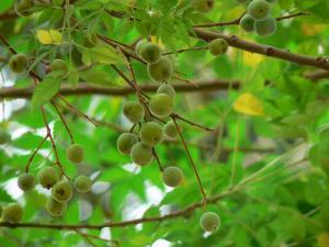 Huile de neem : un insecticide naturel