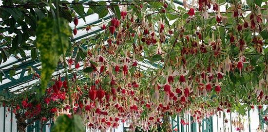 Fuchsias sous serre