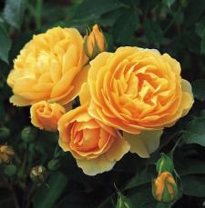 Les plus belles roses signées David Austin