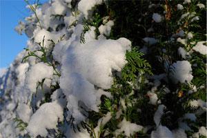 Haie de conifères sous la neige
