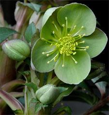 Hellébore - helleborus x sternii 'Boughton beauty'