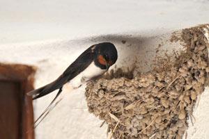 Hirondelle faisant son nid