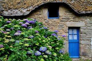 Hortensia bleu devant une chaumière bretonne