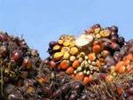 L'huile de palme, un fléau