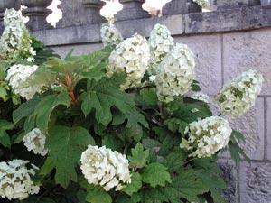 Hortensia à feuilles de chêne : une belle découverte