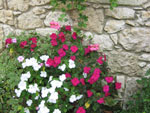 Les fleurs estivales de l'ombre