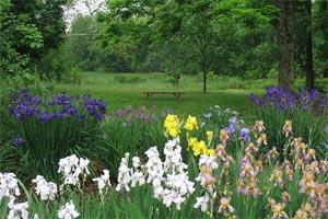 Iris bordant une prairie