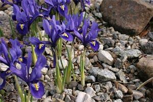 Iris : utilisation au jardin