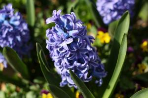 Jacinthe : plantation, multiplication