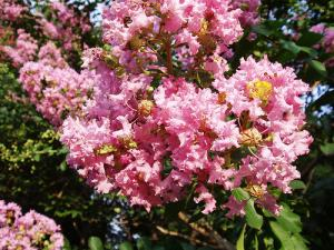 Lagerstroemia ou Lilas des Indes : de nouveaux hybrides à découvrir