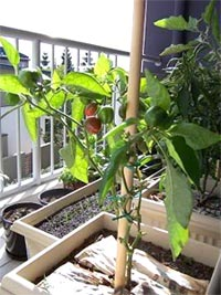 Légume en pot au balcon