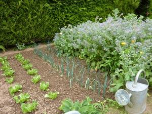 Ombrage de jeunes plants avec un semis de bourrache