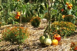 Plants de légumes et paillis sur un ados
