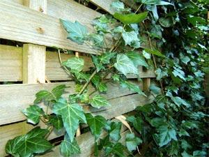 Lierre accroché à un clôture en bois