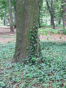Lierre en couvre-sol dans un bois