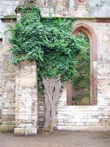 Lierre sur le mur en pierre d'une ruine