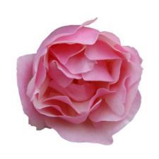 Lijiang Rose