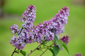 Floraison du lilas