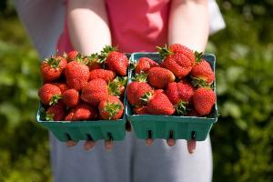 Cueillette de fraise à la ferme