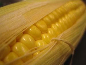 De nouveaux OGM autorisés par la Commission Européenne