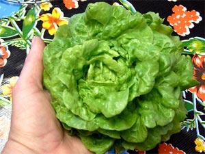Salade miniature 'Tom thumb'