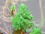 La Baule lutte contre les plantes invasives