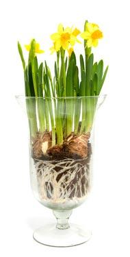 Narcisses dans un vase en verre