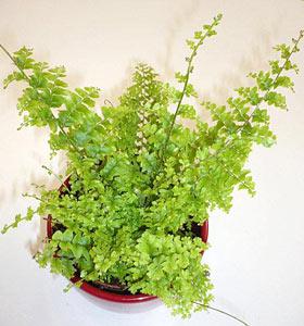 Nephrolepis exaltata foug re de boston for Fougere d interieur plante