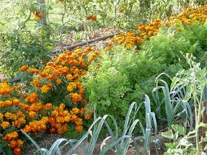 Plantes compagnes : les bonnes associations au jardin