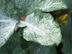 Oïdium (maladie du blanc)