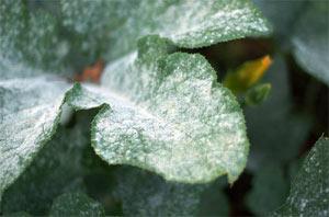 Oïdium sur feuille de citrouille