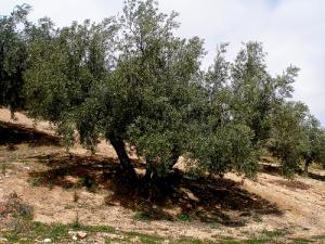 La mode des oliviers centenaires