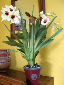 Orchidées : remise en forme ! Orchidee-miltonia