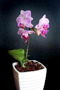 Orchidée Phalaenopsis en pot