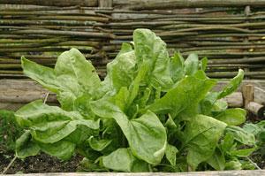 Semez et cultivezl'oseille au jardin