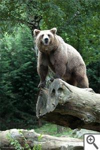 Ours - parc animalier d'Argeles Gazost (Pyrénées)