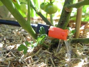Paillage et micro-arrosage sur pied de tomate