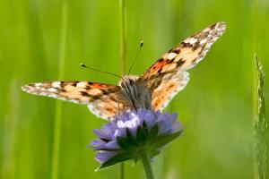 Les papillons, des insectes à protéger