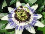 Passiflore bleue (passiflora caerulea)