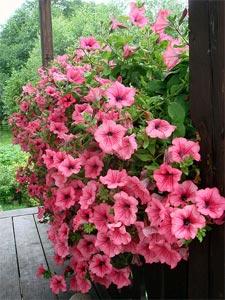 Pétunia, à semer ou planter - en fleurs tout l'été