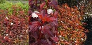 Physocarpus opulifolius Diable d'Or