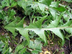 Pissenlit, une salade délaissée à cultiver