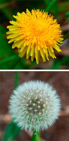 Fleur de pissenlit et akènes