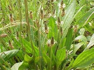 Plantain - plantago lanceolata