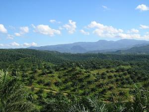 Jeune plantation de palmier à huile, Indonésie