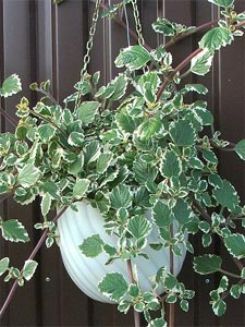 Plectranthus coleoides en suspension