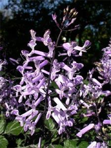 Plectranthus 'Mona Lavender' : épi fleuri