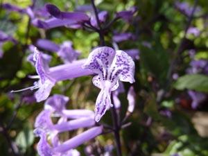 Plectranthus 'Mona Lavender' : détail des fleurs