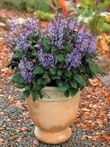 Potée de Plectranthus 'Mona Lavender'